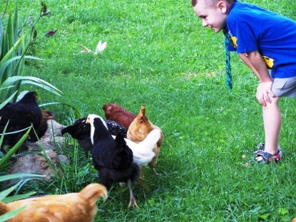 Titus and Chickens